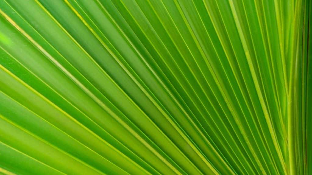 Feuille de palmier du jardin de pamplemousse sur l'ile Maurice - Photographe Architecture - Michael Bouton
